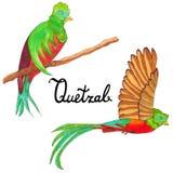 Quetzalburds Vliegende quetzalvogel en het zitten queztal vogel stock afbeelding