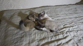 Queue écourtée adulte du Mékong de chat et jeu somali de chaton les uns avec les autres, banque de vidéos