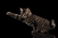 Queue écourtée de saisie Kitty de Kurilian sans queue soulevant la patte, noire photographie stock