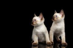 Queue écourtée Kitty du Mékong avec des yeux bleus sur le fond noir Images libres de droits