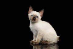 Queue écourtée Kitty du Mékong avec des yeux bleus sur le fond noir Photographie stock