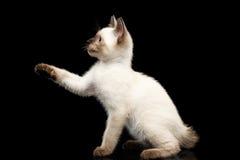 Queue écourtée Kitty du Mékong avec des yeux bleus sur le fond noir Photos stock