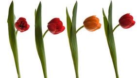 Queue. Of four tulips, three red one orange stock images