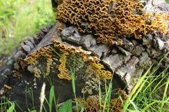 Queue commune de dinde de champignon versicolor de Trametes, macro photographie, champignon de m?decine, comestible, m?dical photos stock