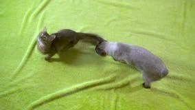 Queue ?court?e adulte du M?kong de chat et jeu somali de chaton les uns avec les autres, mouvement lent banque de vidéos