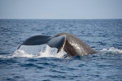 Queue de baleine Photo stock