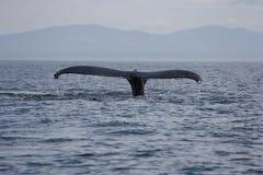 Queue de baleine de bosse dans le San Juan Islands Image stock