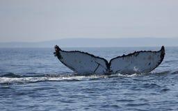 Queue de baleine de bosse dans le San Juan Islands Photographie stock
