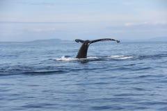 Queue de baleine de bosse dans le San Juan Islands Photographie stock libre de droits
