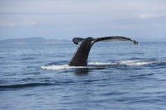 Queue de baleine de bosse dans le San Juan Islands Images libres de droits