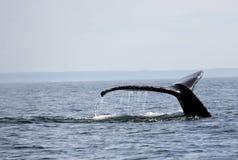 Queue de baleine de bosse dans le San Juan Islands Photos stock