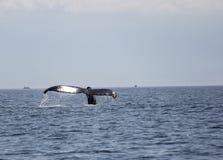Queue de baleine de bosse dans le San Juan Islands Image libre de droits