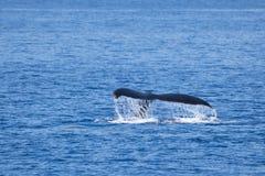 Queue de baleine de bosse submergeant dans l'eau photo stock