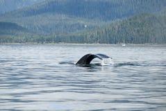 Queue de baleine de bosse Photo stock