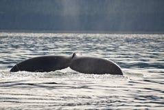 Queue de baleine de bosse Image libre de droits