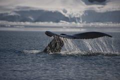 Queue de baleine de bosse Photos stock