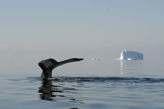 Queue de baleine de bosse Photographie stock