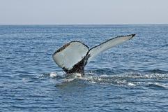 Queue de baleine de bosse images stock