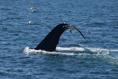 Queue de baleine de bosse (flet) photo libre de droits