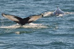 Queue de baleine de bosse (flet) Photographie stock libre de droits
