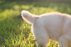 Queue de chiot de chien de traîneau sibérien Photographie stock