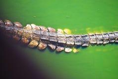 Queue de crocodile Photo stock