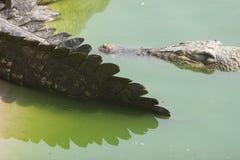 Queue de crocodile Image libre de droits