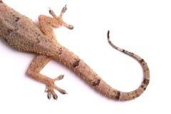 Queue de gecko Photographie stock
