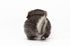 Queue de Gray Baby Chinchilla sur le blanc Photographie stock