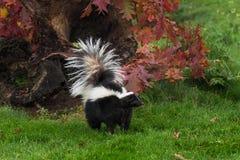 Queue de mephitis de Mephitis de mouffette rayée par le rondin d'automne Photos libres de droits