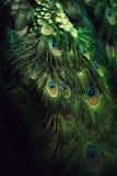Queue de paon avec de belles plumes colorées Photos stock