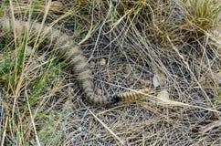 Queue de serpents à sonnettes de prairie Images stock