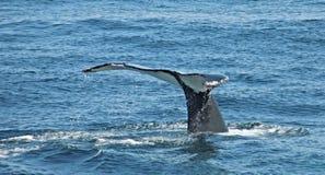 Queue du ` s de baleine hors de l'eau Photos stock
