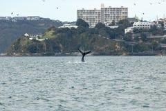 Queue du sud de baleine droite, Wellington New Zealand photos stock