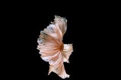 Queue mobile de poissons des poissons de Betta, poissons de combat siamois d'isolement dessus Images stock