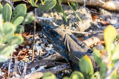 Queue noire de Spinned d'iguane photographie stock
