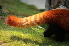 Queue pelucheuse de panda rouge Image libre de droits