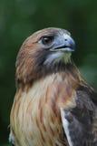 Queue rouge Hawk Close Profile images stock
