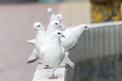 Queue white dove Royalty Free Stock Photo