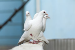 Queue white dove Royalty Free Stock Photography
