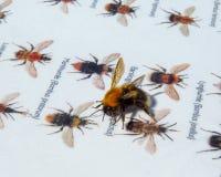 Quién son yo Un abejorro que se sienta en un manual de la identificación de la abeja del manosear Fotografía de archivo libre de regalías