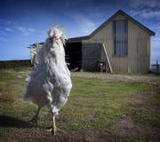 Qui sont vous appelle le poulet ! Photo stock