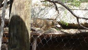 Qui viene i coyote! Fotografia Stock