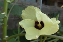 Quiabo, lady& x27; florescência da planta do dedo de s Fotos de Stock Royalty Free