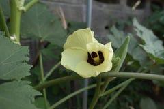 Quiabo, lady& x27; planta do dedo de s Imagem de Stock Royalty Free