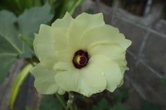 Quiabo, planta do dedo do ` s da senhora Imagens de Stock Royalty Free
