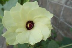 Quiabo, planta do dedo do ` s da senhora Imagem de Stock Royalty Free