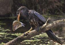 Catch of the Day for Skillful Anhinga. A quick and clever Anhinga catches its next meal, a rock bass, in sub-tropical Lakeland/Polk County, Florida.  The locale Stock Photos