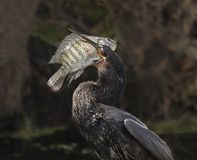 Catch of the Day for Skillful Anhinga. A quick and clever Anhinga catches its next meal, a rock bass, in sub-tropical Lakeland/Polk County, Florida.  The locale Stock Photo