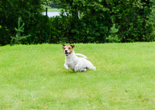 Quick dog playing and running at green grass lawn Stock Image